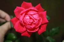 Red rose after a rain shower