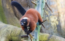 Red Ruffed Lemur looking for a handout Varecia rubra