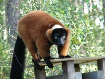 Red ruffed lemur Varecia rubra at the Lemur Conservation Foundation