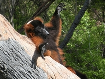 Red ruffed lemur Varecia varecia rubra relaxing in the sun