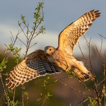 Red shouldered hawk all spread out
