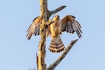 Red shouldered hawk from yesterday morning