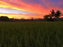 red sky on a rice field in Carcar Cebu Philippines  x