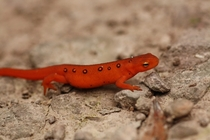 Red Spotted Newt Notophthalmus Viridescens