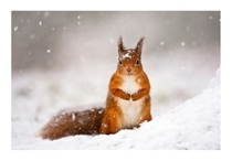Red Squirrel By Jules Cox