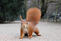 Red Squirrel with pronounced winter ear tufts Dusseldorf x