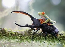 Red Tree Frog rides on the back of a Hercules Beetle in the forest of Costa Rica