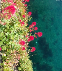 Red Valerian  on harbour wall Looe Cornwall next to clear blue harbour water June