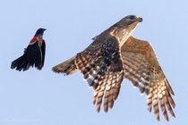 Red-winged blackbird chasing a red shouldered hawk