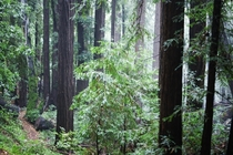 Redwoods after rain shower Woodside CA