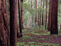 Redwoods in Muir Woods California