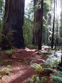 Redwoods in the evening Humboldt County CA