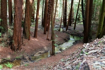 Redwoods of Point Reyes