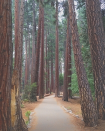 Redwoods of Yosemite