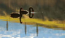 Reflections of Black Swans on Lake Johnson New Zealand