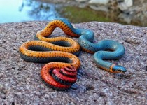 Regal Ringneck Snake Diadophus punctatus regalis  x-post from rpics