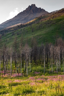 Regrowth in Waterton