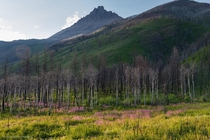 Regrowth - Waterton Alberta