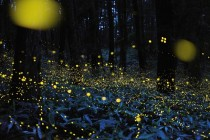 Rei Ohara captures fireflies on film