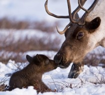 Reindeer Father and Son x-post from rpics