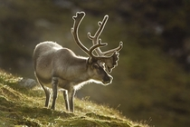 Reindeer Paul Souders