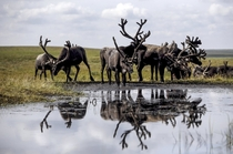 Reindeer Rangifer tarandus gather at a camping ground in far northern Russia Sergei Karpukhin