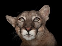 Rescued as a kitten after being abandoned in the wild by its mother in  Calusa nicknamed Lucy is one of no more than  surviving Florida panthers