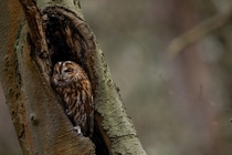 Resting Owl in a tree