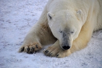 Resting polar bear ursus maritimus in Churchill