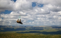 Rhino being airlifted to a new  hectare home in Kwa Zulu Natal as part of the Black Rhino Range Expansion Project in South Africa  Photo by Green RenaissanceBarcroft Media