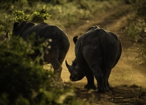 Rhinos in Kenya   armed guards to protect  animals on the preserve  OC