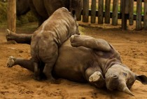 Rhinos playing