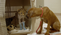 Rhodesian ridgeback puppy Raina looks at her cheetah cub companion Ruuxa who is recovering from surgery on his forelimbs Sept   Photo credit San Diego Zoo Safari Park California USA  x