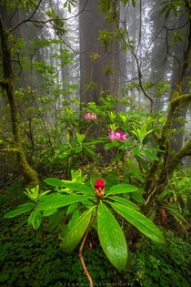 Rhododendron blooms within a foggy grove of coastal redwoods in Northern California