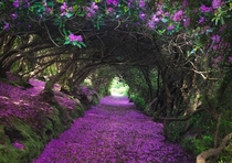 Rhododendron forest in Ireland