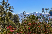 Rhododendron in Himalayas From my trek right before the lock down Uttarakhand India  X