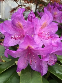 Rhododendron ponticum in State College PA