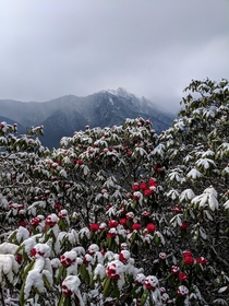 Rhododendrons after snowstorm on Ama Yangri trek Nepal