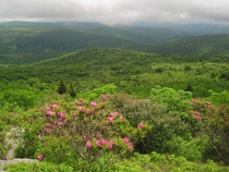 Rhododendrons as seen From an Ascent on Mount Rogers the Highest Peak in Virginia
