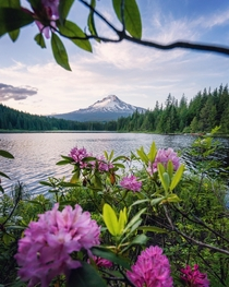 Rhododendrons at Trillium Lake Oregon  IG travelswitheresa