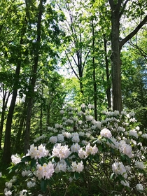 Rhododendrons in full bloom Holden Arboretum Northeast Ohio