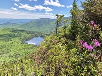 Rhodora blossoms overlooking Lonesome Lake NH