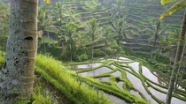 Rice fields in Bail Indonesia