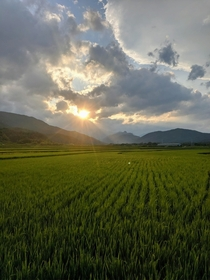 Rice fields in Sokcho South Korea