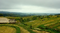 Rice Paddy Field Bali Indonesia