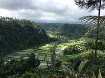 Rice Paddy Fields in Bali Indonesia