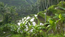 Rice Paddy Terraces - Indonesia