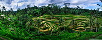 Rice terraces just before harvest Tegalalang Bali