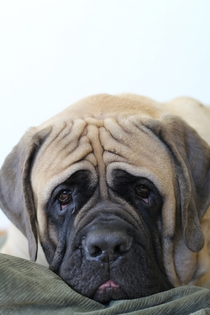 Riggins the English Mastiff