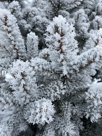 Rime growth on balsam fir needles Madison WI